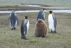 De pinguïnen van de koning met kuiken royalty-vrije stock fotografie