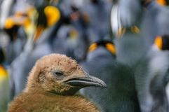 De Pinguïnen van de koning op Zuid-Georgië stock foto
