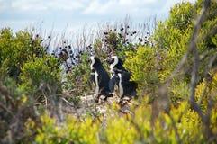 De pinguïnen van Magellan in lijn Stock Foto's