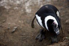 De pinguïnen van Magellan op een eiland Royalty-vrije Stock Fotografie