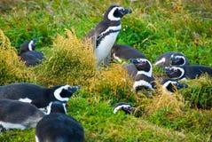 De pinguïnen van Magellanic Stock Foto's