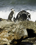 De pinguïnen van Magellanic Stock Fotografie