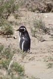 De pinguïnen van Magellanic Royalty-vrije Stock Fotografie
