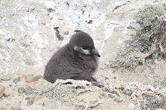 De pinguïnen van Magellanic Royalty-vrije Stock Afbeelding
