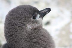 De pinguïnen van Magellanic Stock Afbeelding