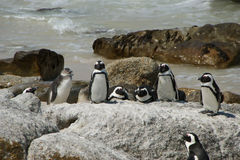 De pinguïnen worden verwarmd op een steen bij oceaan Stock Fotografie