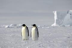 De pinguïnpaar van de keizer Stock Afbeeldingen