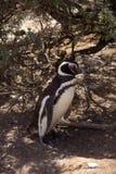 De Pinguïn van Magellanic in Patagonië Stock Afbeelding