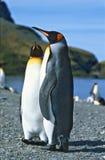 De Pinguïnen van de koning Stock Foto's