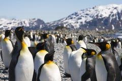 De Pinguïnen van de koning op Zuid-Georgië Stock Foto's