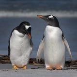 De Pinguïnen van Gentoo Stock Foto's
