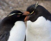 De Pinguïnen van Rockhopper - Falkland Eilanden Stock Foto's