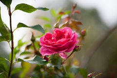 De pioen nam Rosa ` Pat Austin `, Struik toe Royalty-vrije Stock Afbeelding