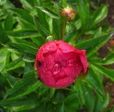 De pioenbloem in de dalingen van dauw royalty-vrije stock afbeelding