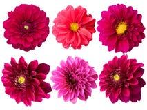 De pioenen van bloemen Stock Afbeelding