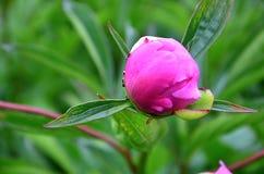 De pioenknop, mier op knop, Bloem nam nitidus, rozen in de tuin toe stock afbeelding