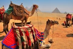 De Piramides en de kamelen van Giza Stock Afbeeldingen