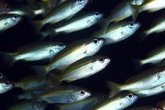 De piste poissons jaunes trevally Photo libre de droits