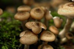 De plaatzwammen van de honing Bos paddestoel Royalty-vrije Stock Foto's