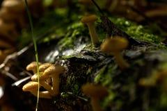 De plaatzwammen van de honing Bos paddestoel Stock Afbeeldingen