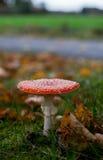 De plaatzwampaddestoel van de vlieg in de herfstbos Royalty-vrije Stock Afbeeldingen