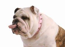De plakkende tong van de hond uit Stock Foto