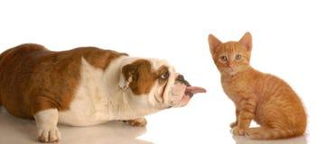 De plakkende tong van de hond uit bij katje Stock Foto's