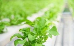 De plantaardige hydroponic systeem jonge en verse groene sla het groeien installaties van het tuinlandbouwbedrijf op water zonder royalty-vrije stock foto's