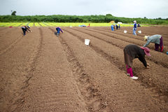 De plantaardige landbouw. Stock Foto's