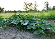 De plantaardige landbouwers van Thailand Stock Foto