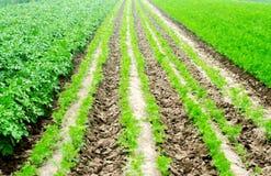 De plantaardige rijen in het gebied, het landschap van landbouw, groene aardappels en wortelen groeien in de grond, de landbouw,  stock foto