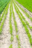 De plantaardige rijen in het gebied, het landschap van landbouw, groene aardappels en wortelen groeien in de grond, de landbouw,  royalty-vrije stock foto