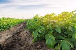 De plantaardige rijen van aardappels groeien op het gebied Groeiende organische groenten Landbouw Landbouwbedrijf Selectieve nadr stock afbeeldingen