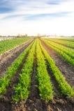 De plantaardige rijen van jonge wortelen groeien op het gebied Groeiende de landbouwgewassen Mooi landschap op de aanplanting Lan stock foto's