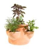 De planter van het kruid Stock Afbeeldingen