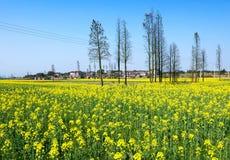 De bloem van Canola royalty-vrije stock foto's
