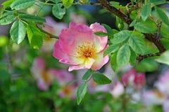 De plattelandshuisjetuin nam bloem toe Stock Afbeelding