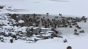 De platyrhynchoseenden van wilde eendana bespatten in het water onder het ijs op de vijver in het stadspark onder de sneeuw stock videobeelden