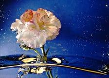De plons van de bloem Stock Fotografie