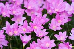 De pluie fleur rose de fleur lilly Images libres de droits