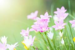 De pluie fleur rose de fleur lilly avec le sunflare photographie stock