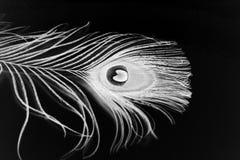 De pluim van de pauw op witte close-up stock foto's