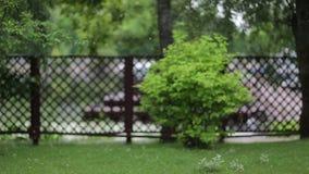 De pluis van de Cottonwoodpopulier zoals de vliegen van een de Populier cottonwood pluis van de de zomersneeuw Bij de vliegen van stock videobeelden