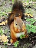 De pluizige eekhoorn zit op grond en het bijten noot Stock Foto