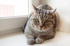 De pluizige grijze gestreepte katkat met groene ogen zit dichtbij aan het venster Royalty-vrije Stock Afbeelding