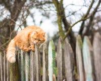 De pluizige kat die van de gembergestreepte kat op oude houten lopen Royalty-vrije Stock Afbeelding