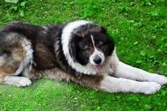 De pluizige Kaukasische herdershond ligt op een groen gras royalty-vrije stock foto