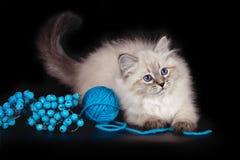 De pluizige mooie Maskerade van katjesnevskaya met blauwe ogen die met een bal van garens op een zwarte achtergrond stellen stock foto's