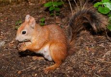 De pluizige rode eekhoorn eet de noten Royalty-vrije Stock Fotografie