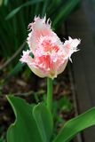 De pluizige roze tulp, kiest en macro uit Royalty-vrije Stock Foto's